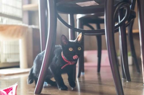 アトリエイエネコ Cat Photographer 39078653814_84ea6c4f6b 1日1猫!CaraCatCafe 里親募集中の黒猫マックくん 1日1猫!  黒猫 里親様募集中 箕面 猫写真 猫 子猫 大阪 写真 保護猫カフェ 保護猫 スマホ カメラ Kitten Cute cat caracatcafe