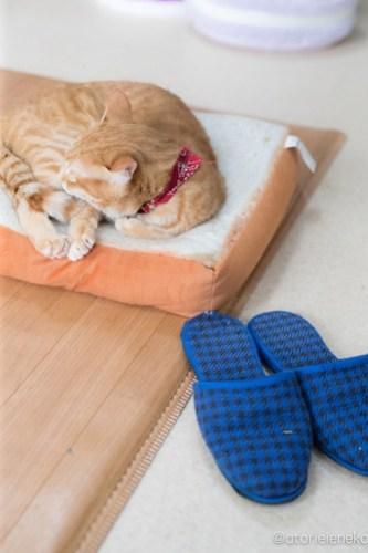 アトリエイエネコ Cat Photographer 26485447538_a75f1a1014 1日1猫!猫カフェきぶん屋さんに行ってきました♪(1/3) 1日1猫!  里親様募集中 猫写真 猫 子猫 大阪 写真 兵庫 保護猫カフェ 保護猫 キジ猫 カメラ きぶん屋 Kitten Cute cat