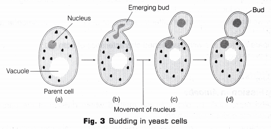 Budding Yeast Diagram Of Cel Wiring Diagrams For Dummies