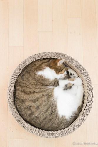 アトリエイエネコ Cat Photographer 25733972477_6ec95cb040 1日1猫!保護猫カフェ&猫ホテルねこんチ コロ助くん♪ 1日1猫!  猫写真 猫 子猫 大阪 写真 保護猫カフェねこんチ 保護猫カフェ 保護猫 スマホ カメラ Kitten Cute cat