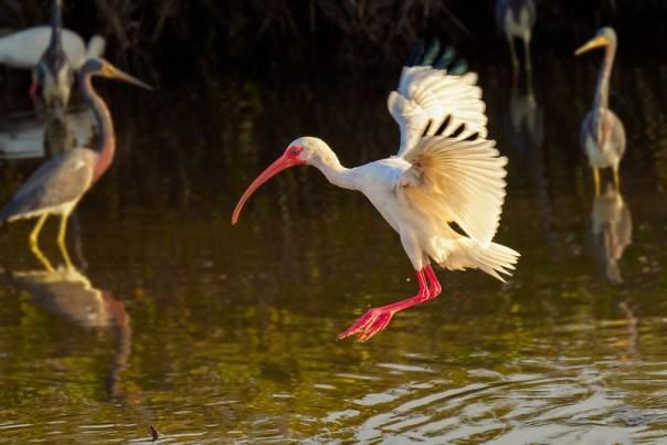 Landing Ibis