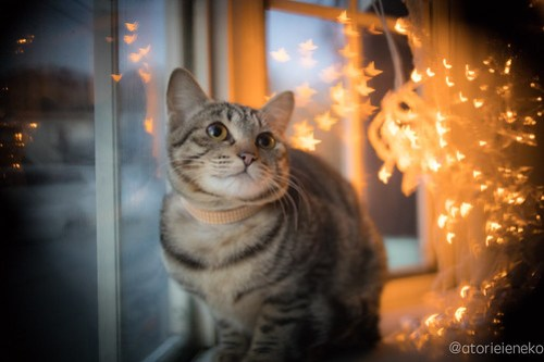 アトリエイエネコ Cat Photographer 25468117377_e2102abcc3 1日1猫!高槻ねこのおうち お声がかかったリボンちゃん♪ 1日1猫!  高槻ねこのおうち 里親様募集中 猫写真 猫 子猫 大阪 写真 保護猫 キジ Kitten Cute cat