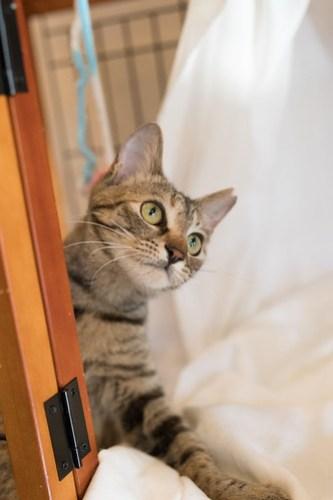 アトリエイエネコ Cat Photographer 38889572285_4c39143560 1日1猫!CaraCatCafe美人で甘えん坊ののちゃん! 1日1猫!  里親様募集中 箕面 猫写真 猫 子猫 大阪 写真 保護猫カフェ 保護猫 スマホ キジ猫 カメラ Kitten Cute cat caracatcafe