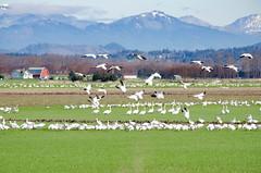 Fir Island Snow Geese-019