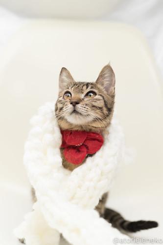 アトリエイエネコ Cat Photographer 39685004961_5b7454b15d 1日1猫!高槻ねこのおうち 里親募集中のリンちゃん♪ 1日1猫!  高槻ねこのおうち 里親様募集中 猫写真 猫 子猫 大阪 写真 キジ猫 カメラ Kitten Cute cat