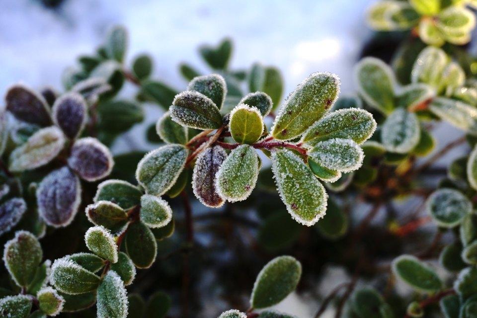 frozen-leaf