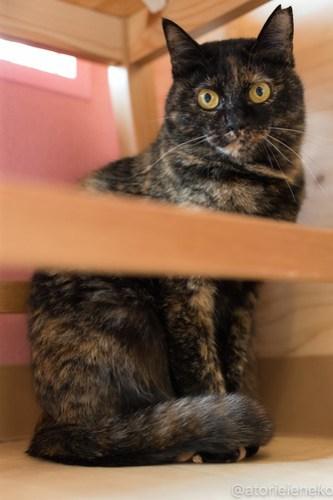 アトリエイエネコ Cat Photographer 40109891935_658bdfe9e0 1日1猫!ニャンとぴあ みかんちゃんのトライアルが決まりました♪ 1日1猫!  里親様募集中 猫写真 猫カフェ 猫 子猫 写真 保護猫カフェ 保護猫 ニャンとぴあ スマホ サビ猫 サクラ猫 カメラ おおさかねこ倶楽部 Kitten Cute cat