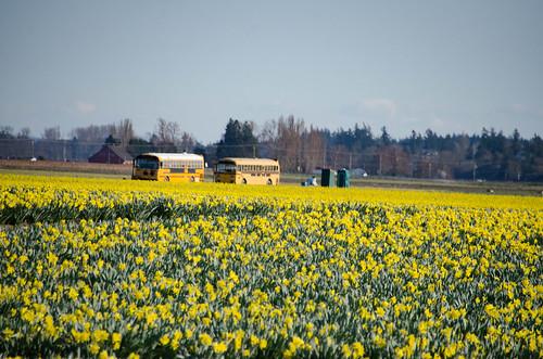 Skagit Daffodils-33