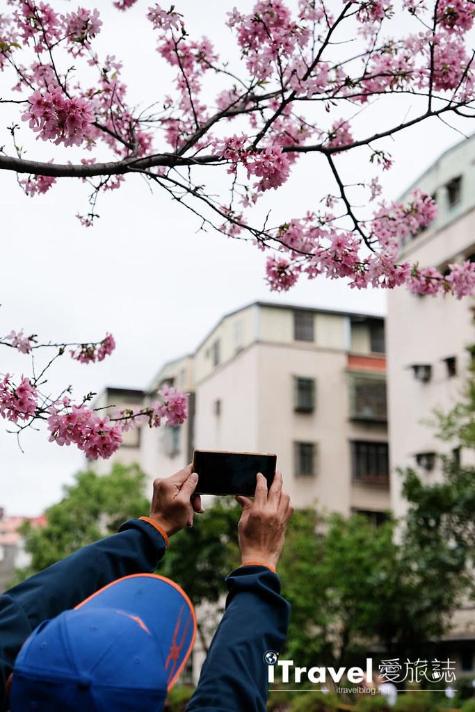 土城赏樱景点 希望之河左岸樱花 (13)