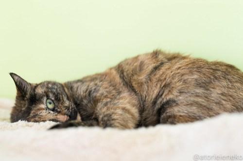 アトリエイエネコ Cat Photographer 39981932535_fdc6a69987 1日1猫!保護猫カフェねこんチ新スタッフみいちゃん♪ 1日1猫!  里親様募集中 猫写真 猫 子猫 大阪 初心者 写真 保護猫カフェねこんチ 保護猫カフェ 保護猫 スマホ カメラ Kitten Cute cat
