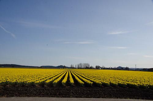 Skagit Daffodils-45