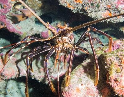 Panulirus longipes Coral spiny lobster  #marineexplorer