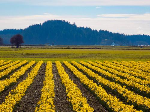 Skagit Daffodils-17