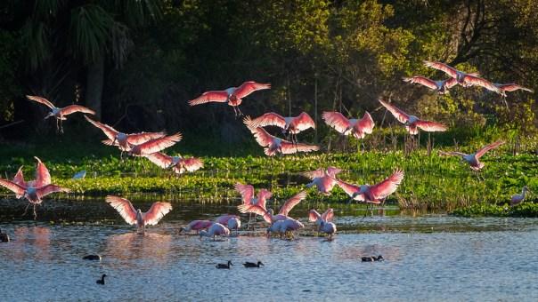 Landing Spoonbills