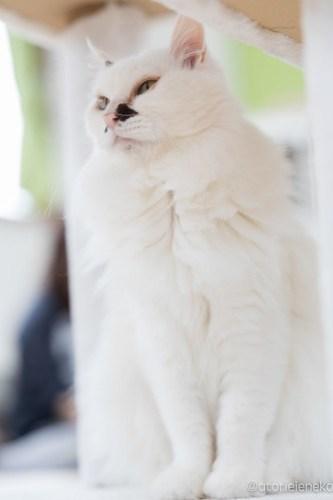 アトリエイエネコ Cat Photographer 25733934847_d6b59fe8f1 1日1猫!保護猫カフェ&猫ホテルねこんチ 里親様募集中の徳川くん♪ 1日1猫!  里親様募集中 猫写真 猫 子猫 大阪 写真 保護猫カフェねこんチ 保護猫カフェ 保護猫 スマホ カメラ Kitten Cute cat
