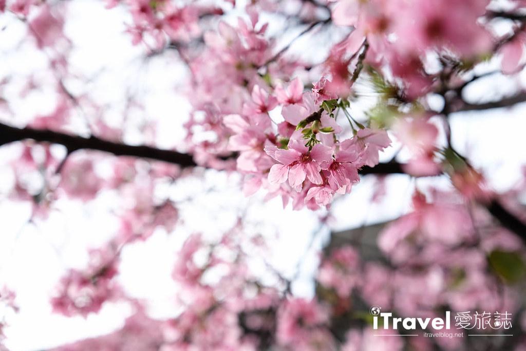 土城赏樱景点 希望之河左岸樱花 (11)