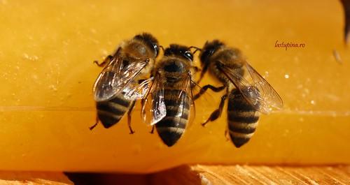 Albinele de la Kultiva