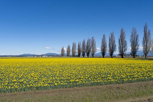 Skagit Daffodils-34