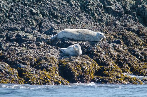 Harbor Seals-004
