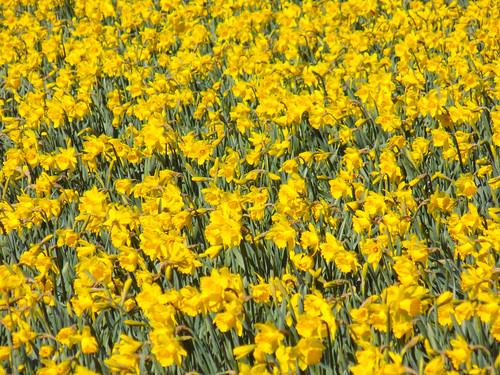 Skagit Daffodils-6