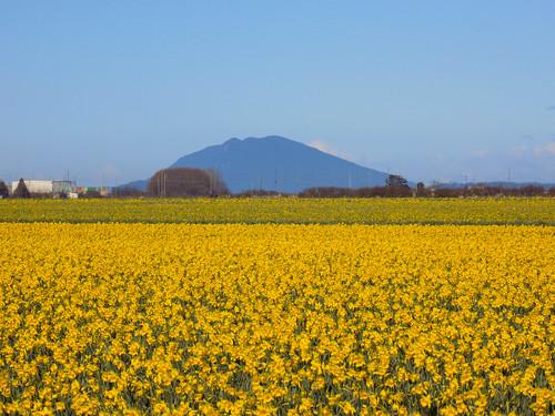 Skagit Daffodils-8