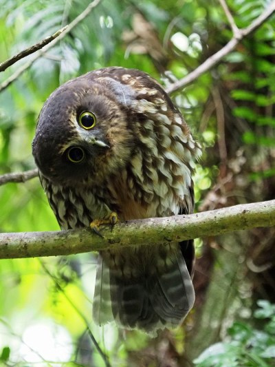 Ruru (Morepork) - swivel-head