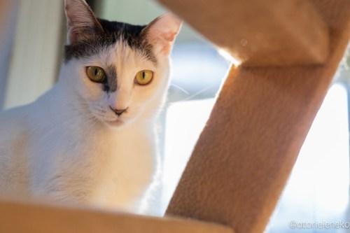 アトリエイエネコ Cat Photographer 44506946600_d69b22eee2 1日1猫!保護猫カフェけやきさん! 1日1猫!  里親募集 猫写真 猫カフェ 猫 守口 子猫 写真 保護猫カフェけやき 保護猫カフェ 保護猫 カメラ おおさか Kitten Cute cat