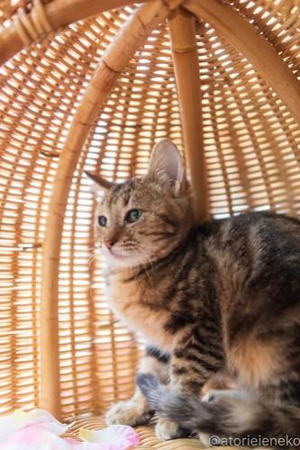 アトリエイエネコ Cat Photographer 45520156094_9fd85a04d2 1日1猫!高槻ねこのおうち  里活中のアメリちゃん♫ 1日1猫!  高槻ねこのおうち 里親募集 猫 子猫 保護猫 ねこ sheltercat photo Kitten cat