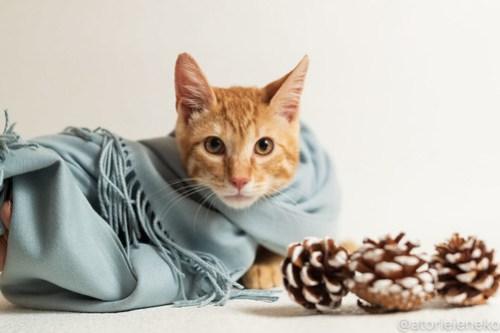 アトリエイエネコ Cat Photographer 45404380994_88e36e2ff9 1日1猫!おおさかねこ倶楽部 里活中の元気くん♪ 1日1猫!  里親募集 茶トラ 猫写真 猫カフェ 子猫 写真 保護猫カフェ 保護猫 ハチワレ ニャンとぴあ サビ猫 キジ猫 カメラ おおさかねこ倶楽部 Kitten Cute cat