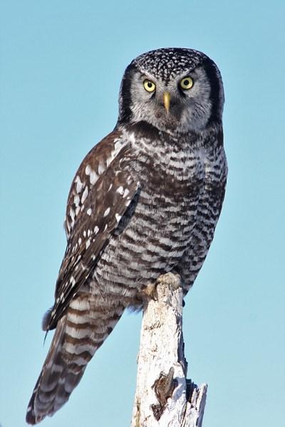 Chouette épervière / Northern Hawk Olw