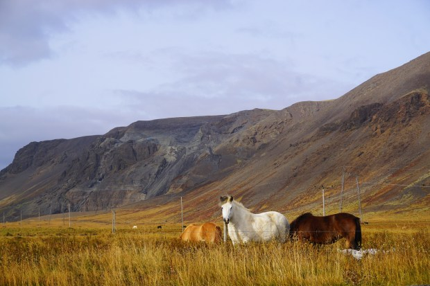 Wild horses near the town of Selfoss