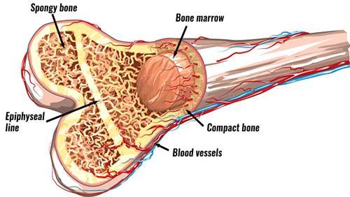 Tulang - Definisi, Fungsi, dan Penyakit Terkait