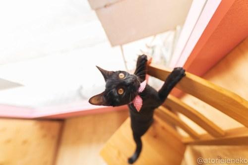 アトリエイエネコ Cat Photographer 44311866430_e996321752 1日1猫!おおさかねこ倶楽部 里活中のゆんちゃん♪ 1日1猫!  黒猫 里親募集 猫写真 猫カフェ 猫 子猫 写真 保護猫カフェ 保護猫 ハチワレ ニャンとぴあ サビ猫 キジ猫 おおさかねこ倶楽部 photo Kitten Cute cat