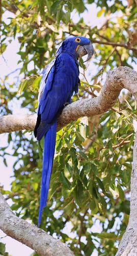 Calendar_Hyacinth Macaw_6889
