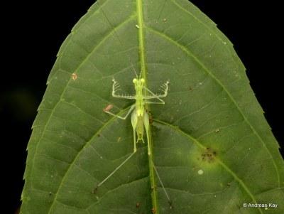 Katydid, Phlugiola sp.? Tettigoniidae, Meconematinae