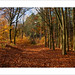 Autumn Beech Trees - vi