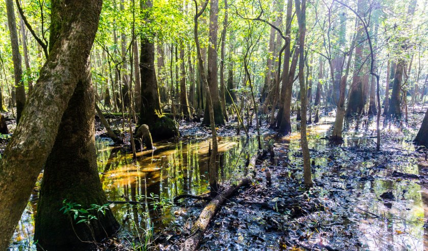 Some of the Old-Growth Forest at Congaree National Park, South Carolina, Oct. 3, 2018.