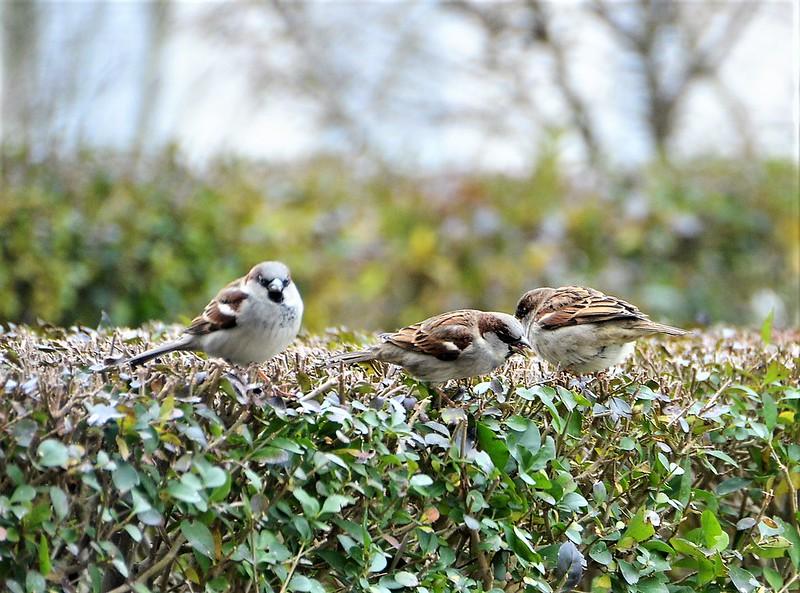 Sparrows 15.12 (18)