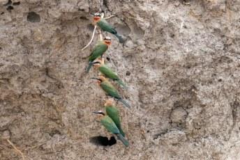 Deze Witkapbijeneters (Merops bullockoides) zaten gezellig samen op een wortel naar de toeristen die langsvoeren te kijken.