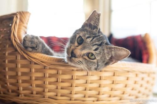 アトリエイエネコ Cat Photographer 45872176462_d36e8051d7 1日1猫!高槻ねこのおうち 里活中のアポロくん♫ 1日1猫!  高槻ねこのおうち 高槻 里親様募集中 里親募集 猫写真 猫 子猫 大阪 写真 保護猫 キジ猫 カメラ Kitten Cute cat