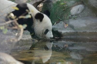 2-year-old panda cub 2018-10-20