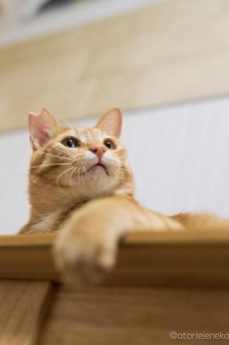 アトリエイエネコ Cat Photographer 31384531567_7e19eda1d5 1日1猫!保護猫カフェけやきさん! 1日1猫!  里親募集 猫写真 猫カフェ 猫 守口 子猫 写真 保護猫カフェけやき 保護猫カフェ 保護猫 カメラ おおさか Kitten Cute cat