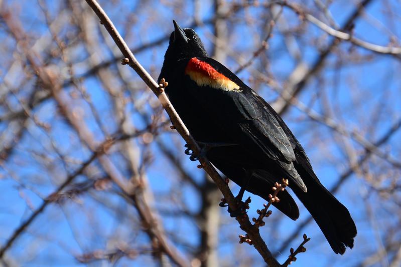 Red-winged blackbird in spring