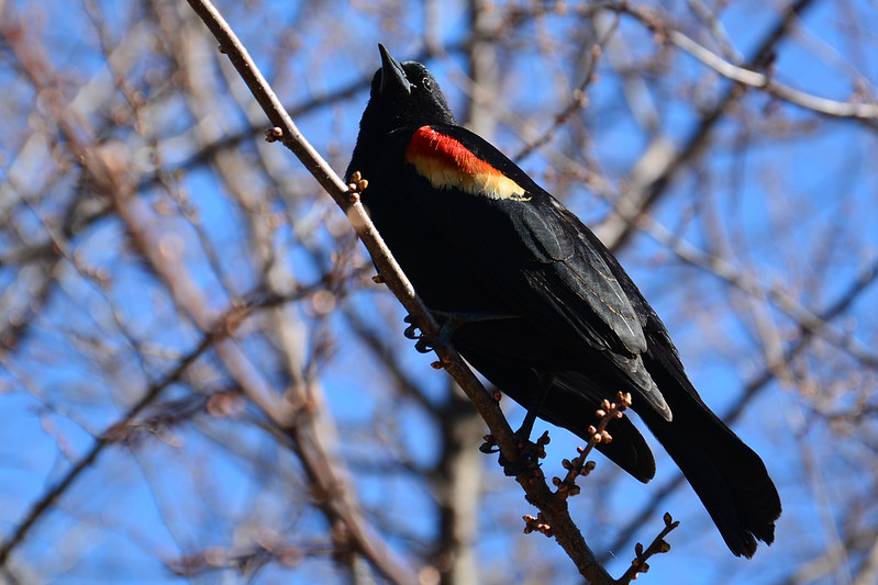Red-winged blackbird in spring