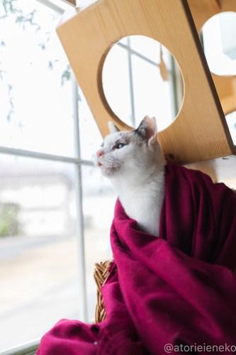 アトリエイエネコ Cat Photographer 46193390582_1b53141b3f 1日1猫!高槻ねこのおうち  里活中のみゅうみゅうちゃん♫ 1日1猫!  高槻ねこのおうち 里親募集 猫 子猫 Kitten Cute cat