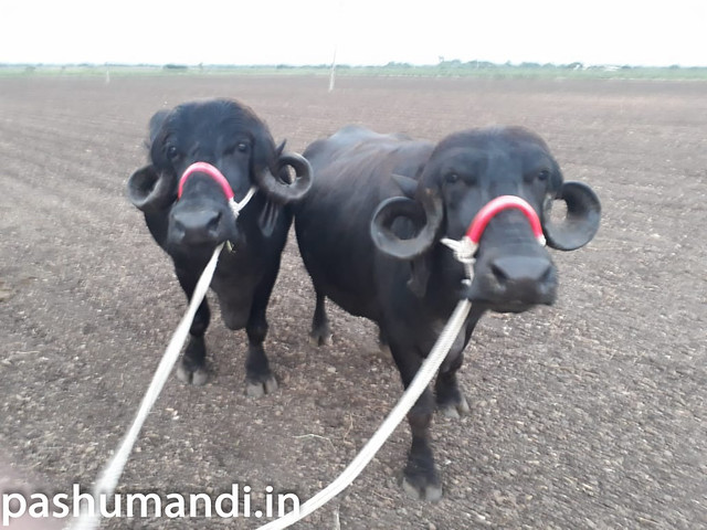 Jafarabadi Buffalo for Sale at Junagarh | Pashumandi in