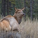North American Elk - Calf