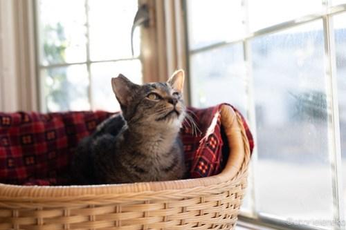アトリエイエネコ Cat Photographer 45921641131_c36f64cedc 1日1猫!高槻ねこのおうち 里活中のアポロくん♫ 1日1猫!  高槻ねこのおうち 高槻 里親様募集中 里親募集 猫写真 猫 子猫 大阪 写真 保護猫 キジ猫 カメラ Kitten Cute cat