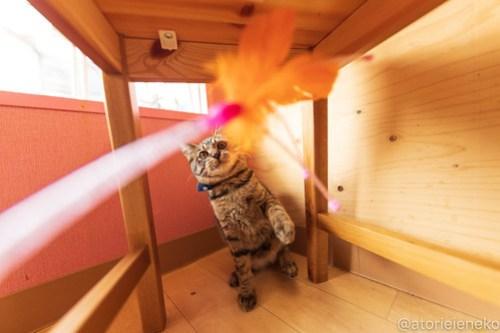 アトリエイエネコ Cat Photographer 46128204971_b8bcdf6e34 1日1猫!おおさかねこ倶楽部 里活中のおうくん♪ 1日1猫!  里親募集 茶トラ 猫写真 猫カフェ 猫 子猫 写真 保護猫カフェ 保護猫 ハチワレ ニャンとぴあ サビ猫 キジ猫 カメラ おおさかねこ倶楽部 Kitten Cute cat
