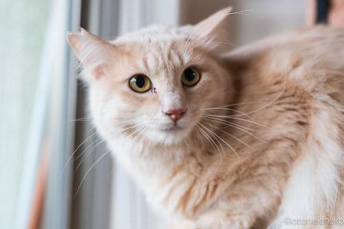 アトリエイエネコ Cat Photographer 44506940510_e4a7253747 1日1猫!保護猫カフェけやきさん! 1日1猫!  里親募集 猫写真 猫カフェ 猫 守口 子猫 写真 保護猫カフェけやき 保護猫カフェ 保護猫 カメラ おおさか Kitten Cute cat